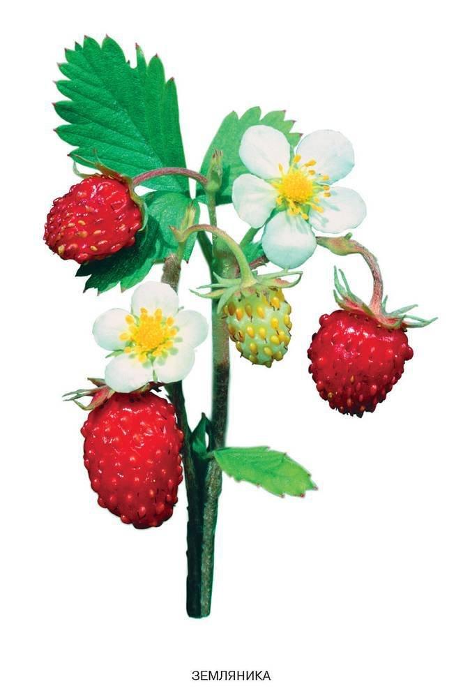 времен картинка ягодка для сада вот, именно столько